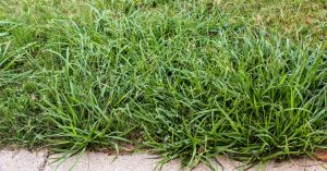 HELP! How to Prevent and Get Rid of Crabgrass