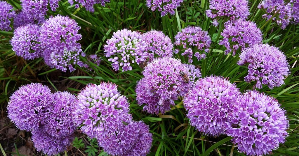 7 Best Plants To Plant In Fall For Spring Blooms, allium
