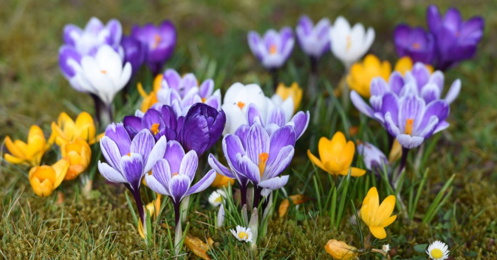7 Best Plants To Plant In Fall For Spring Blooms, crocus