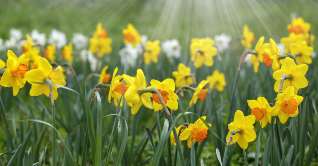 7 Best Plants To Plant In Fall For Spring Blooms, daffodils
