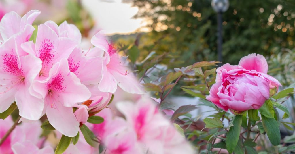 7 Best Plants To Plant In Fall For Spring Blooms, peonias and azaleas
