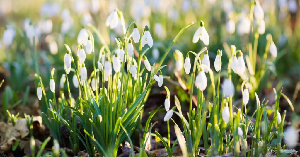 7 Best Plants To Plant In Fall For Spring Blooms, snow drops