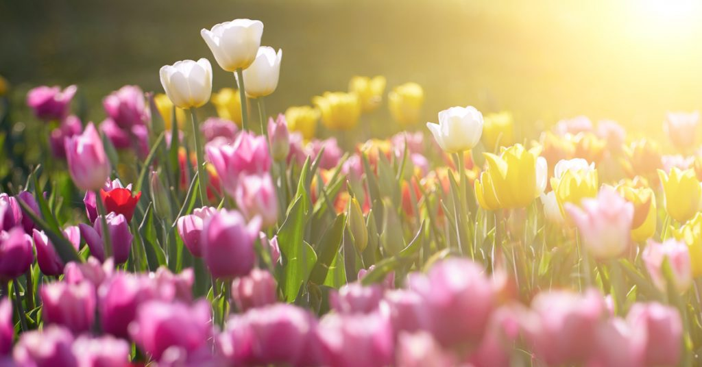 7 Best Plants To Plant In Fall For Spring Blooms, tulips